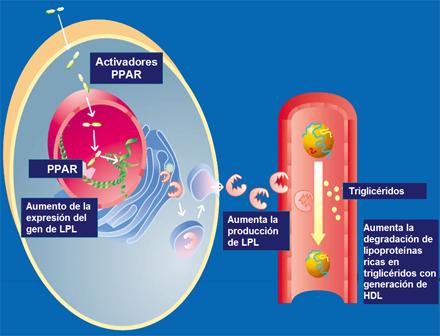 diabetes por lipasa endotelial