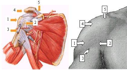 la diabetes mellitus deteriora la curación del tendón-hueso después de la reparación del manguito ro