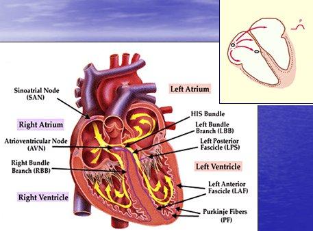 Trastornos del ritmo cardíaco: electrofisiología, arritmias